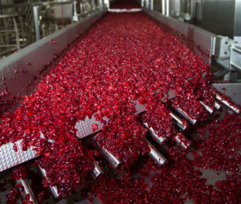 Cranberries being processed in a plant on a conveyor belt