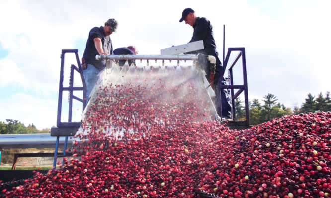 Two workers process harvest cranberries